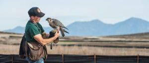 Falconry In the News